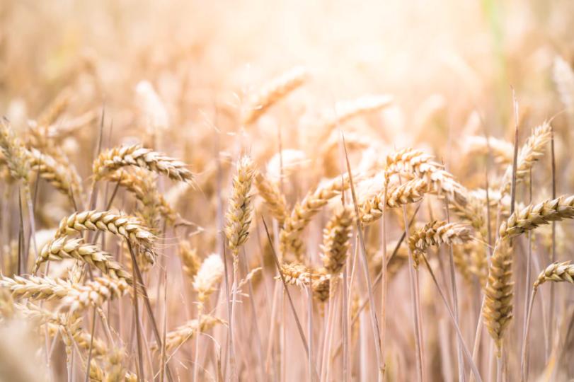 trigo y celiaquía
